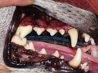 Dog's teeth after a dental