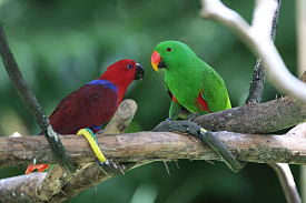 Pair of Eclectus (image courtsey of Snowmanradio)