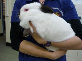 Rabbit Care-St Ives Veterinary Surgery